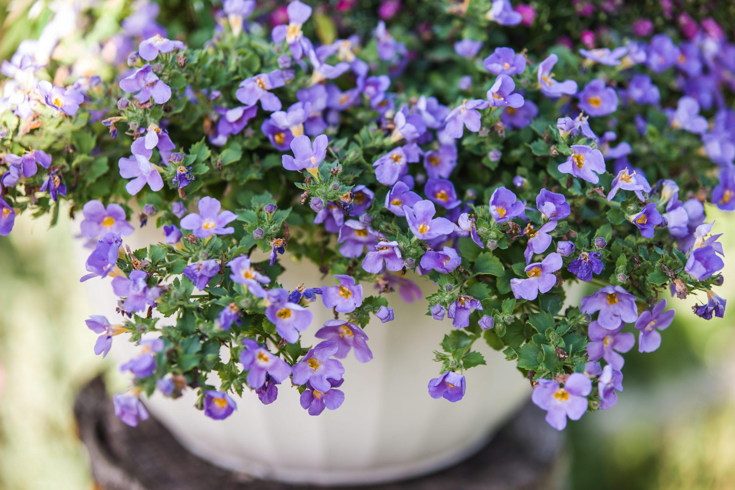 Bakopa, biljka, cveće, cvet