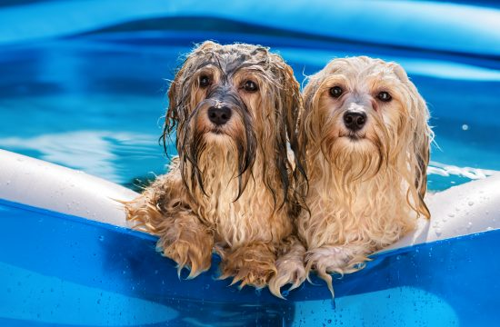 Psi, pas, bazen, leto, vrućina