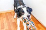 Pas, kuče, ljubimac, igračka, igra
