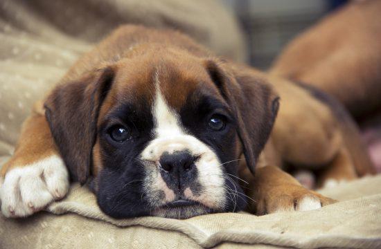 Pas, kuče, ljubimac